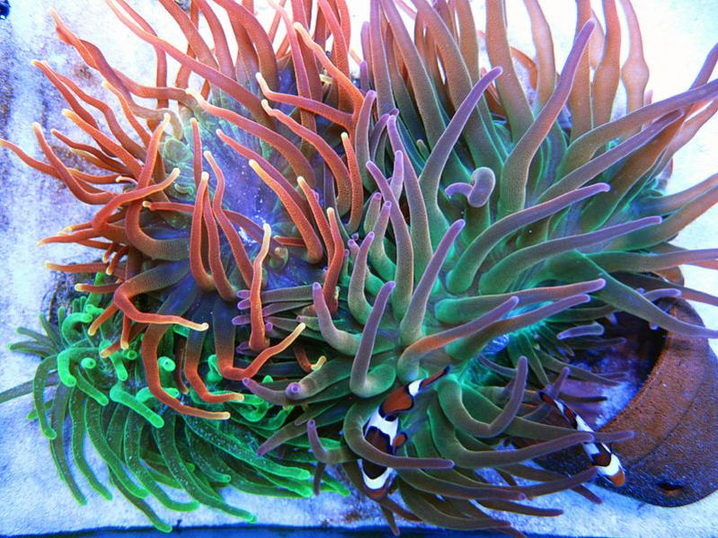 Coral Reef Aquarium - Invert Index - Bubble Tip Anemone Trio