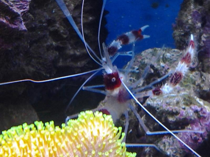 Coral Reef Aquarium - Invert Index - Coral banded shrimp and friend