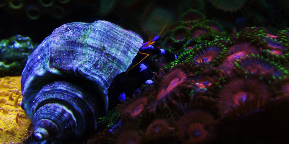electric-blue-hermit-crab-dscf1203-jpg-5