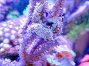 -emerald-crab-jpg