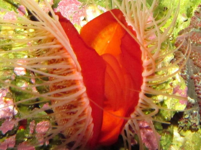 Coral Reef Aquarium - Invert Index - Flame Scallop