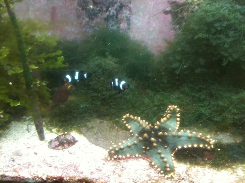 Coral Reef Aquarium - Invert Index - Green Star