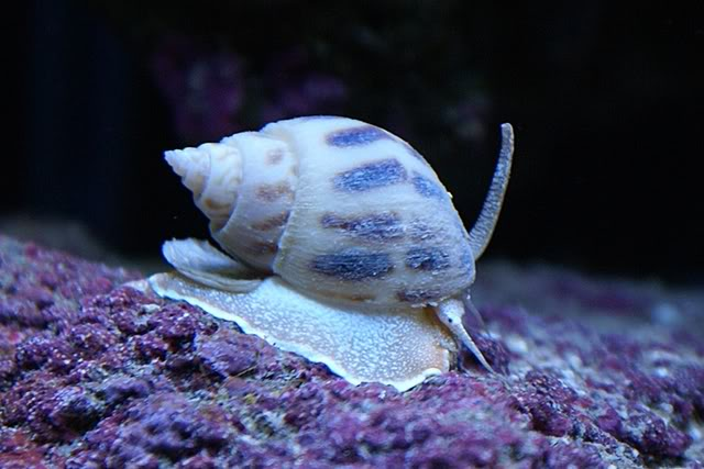 Coral Reef Aquarium - Invert Index - Nassarius Snail