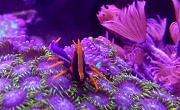 -purple-orange-squat-lobster-1-jpg