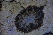 -rock-anemone-1-jpg