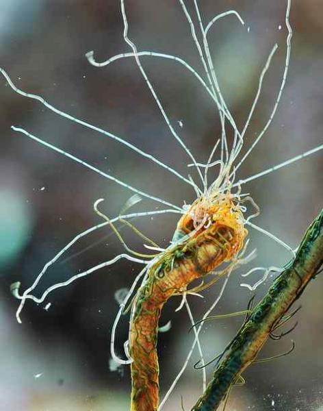 Coral Reef Aquarium - Invert Index - Spawning Spaghetti worm