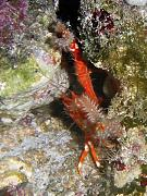 -squat-lobster-worm-jpg