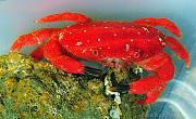 -cr-dsc_3128strawberrycrab2-jpg