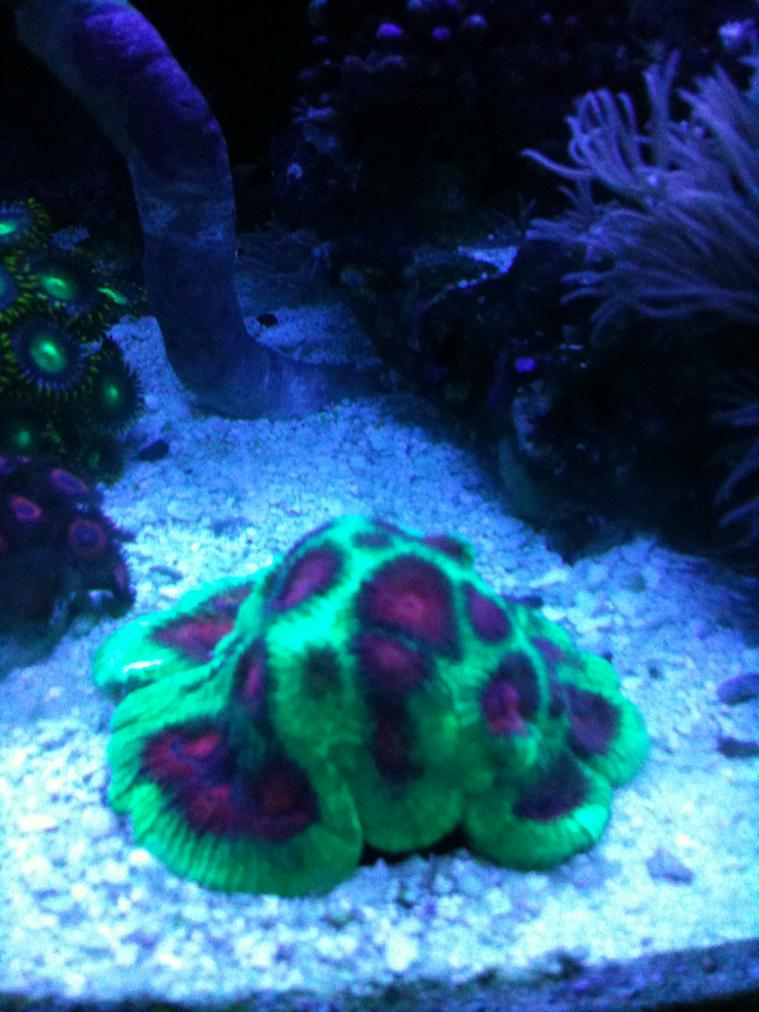 Coral Reef Aquarium - Corals - What's wrong with my Favia?