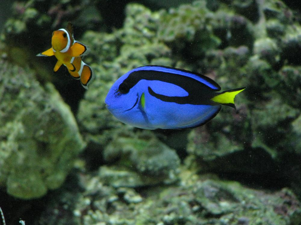 5 blue hippo tang 75 for Blue tang fish price