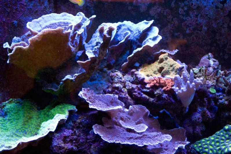 Coral Reef Aquarium - Livestock Sales & Trades - Chalices and caps: from mild to wild!