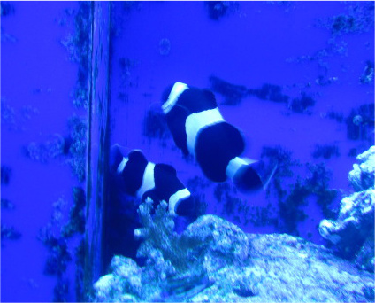 Coral Reef Aquarium - Livestock Sales & Trades - clown fish for sale