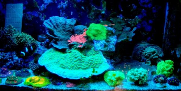 Coral Reef Aquarium - Livestock Sales & Trades - Clownfishes and Corals