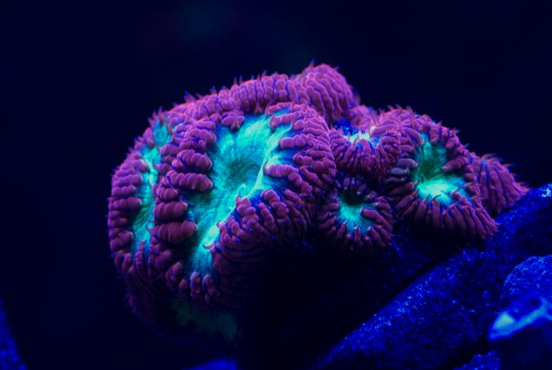 Coral Reef Aquarium - Livestock Sales & Trades - Corals for swap or pick up