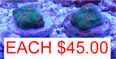 Coral Reef Aquarium - Livestock Sales & Trades - Flamethower and My Miami