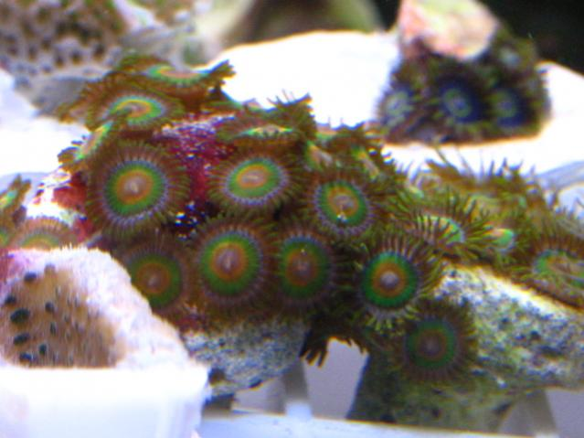Coral Reef Aquarium - Livestock Sales & Trades - FS: Purple Hornets, Rasta's, RPE, Sunset/Rainbow/Superman, Neon Candy Cane Coral