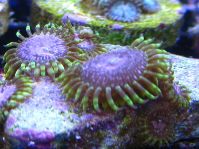 Coral Reef Aquarium - Livestock Sales & Trades - Gonzo Space Monster frag (2 Adults & 1 baby)