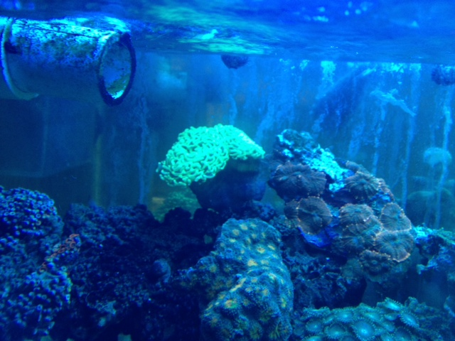Coral Reef Aquarium - Livestock Sales & Trades - Green Wall Hammer