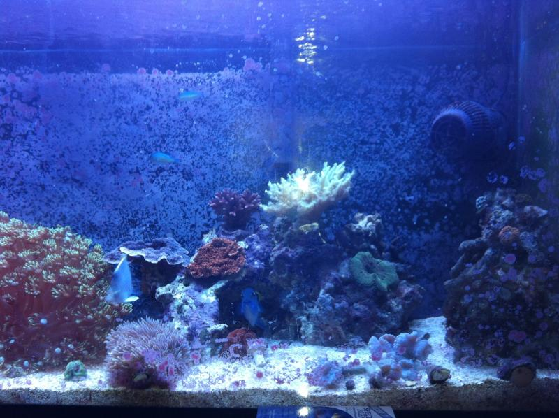 Coral Reef Aquarium - Livestock Sales & Trades - Huge Aussie Duncan Colony!