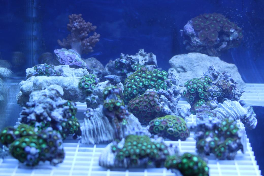 Coral Reef Aquarium - Livestock Sales & Trades - Mushrooms, Zoos, RBTA and some Crabs