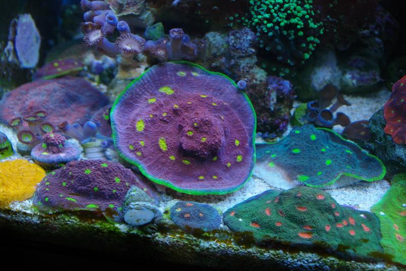 Coral Reef Aquarium - Livestock Sales & Trades - Nice color corals
