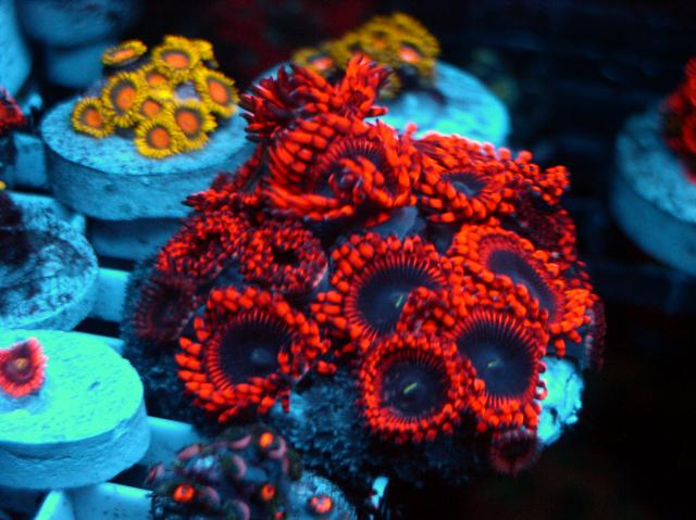 Coral Reef Aquarium - Livestock Sales & Trades - Wicked Orange PE