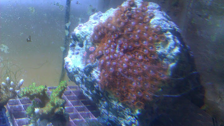 Coral Reef Aquarium - Livestock Sales & Trades - Zoa Rock/Colony