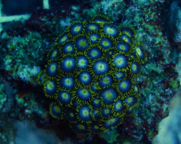 Coral Reef Aquarium - Livestock Sales & Trades - Zoas duncans and more