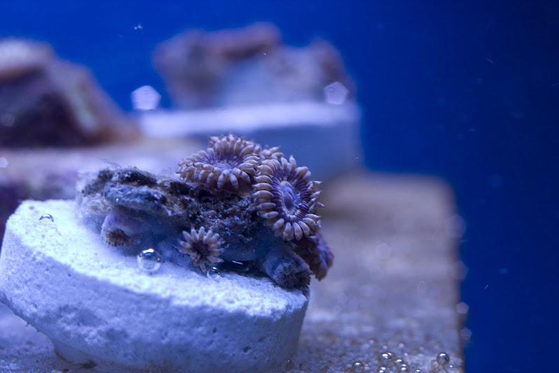 Coral Reef Aquarium - Livestock Sales & Trades - Zoas everyone should own!