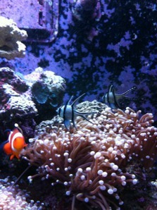 Coral Reef Aquarium - Marine Fish - Banggai Cardinals