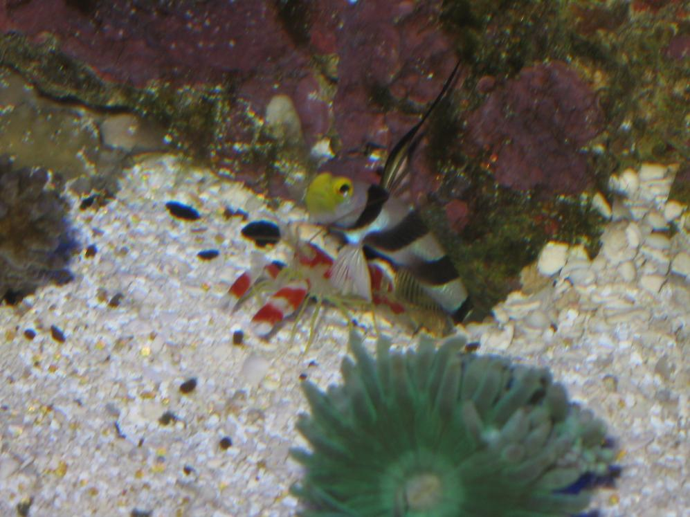 Coral Reef Aquarium - Marine Fish - goby and pistol shrimp?