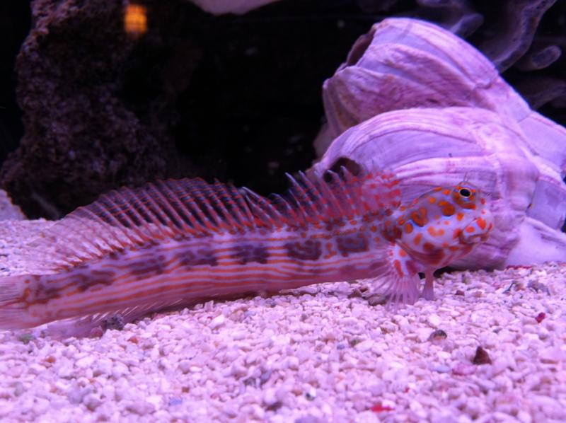 Coral Reef Aquarium - Marine Fish - Help Me ID This Blenny?
