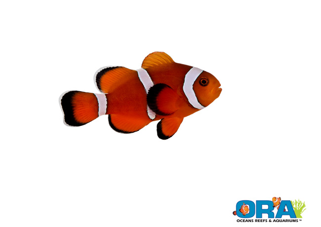 Coral Reef Aquarium - Marine Fish - Important Announcement from ORA