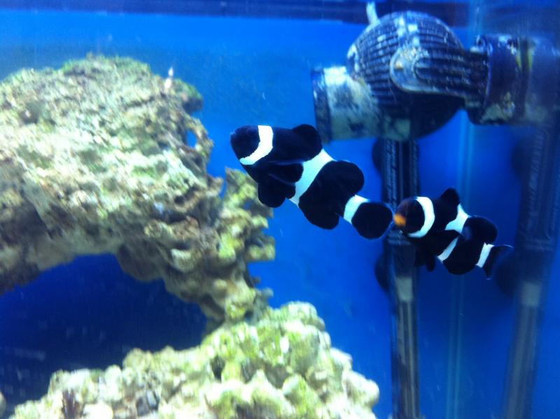 Coral Reef Aquarium - Marine Fish - My clownfish in their new home