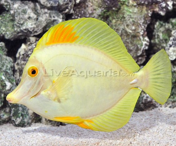 Coral Reef Aquarium - Marine Fish - OMG $1200 hybrid yellow tang on DD