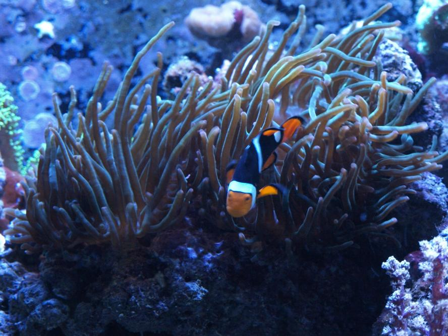 Coral Reef Aquarium - Marine Fish - Show off your Clowns Thread!!