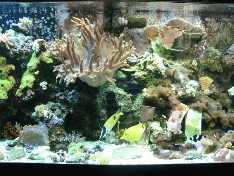 Coral Reef Aquarium - Member's Reefs - choky joe set up