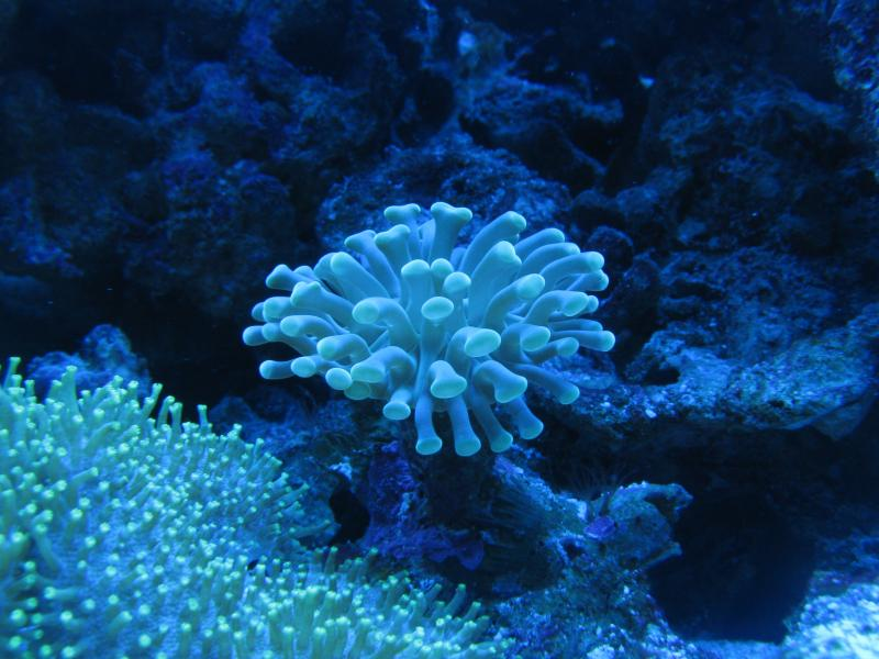Coral Reef Aquarium - Member's Reefs - Dan and Angela's tank