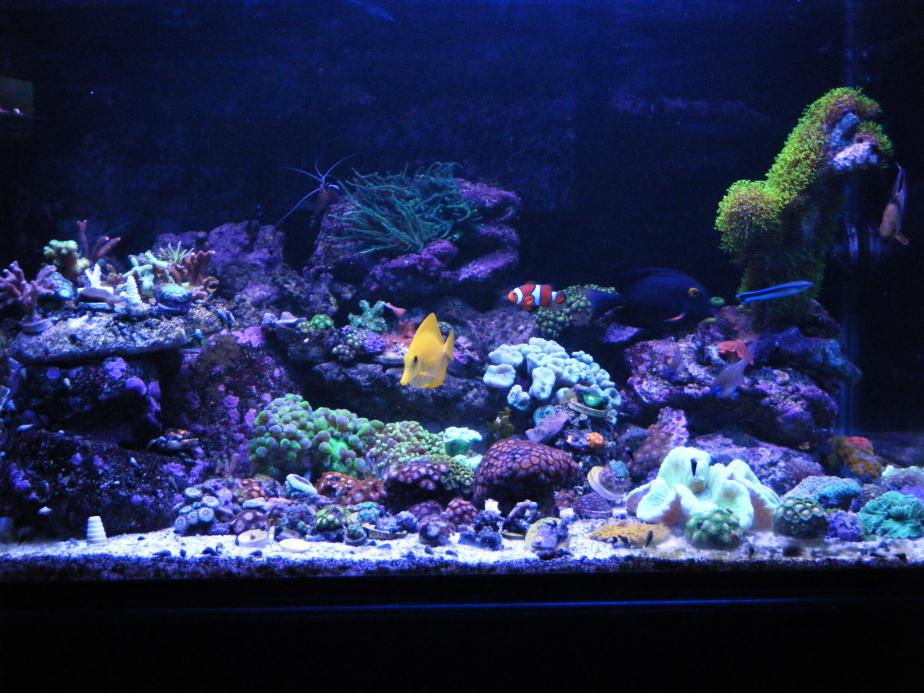 Coral Reef Aquarium - Member's Reefs - Finally! A tank to be proud of...