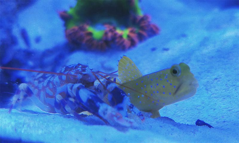 jimsflies new invert ranch ywg tps jpg 11753d1463288142 - Yellow Watchman Goby and Pistol Shrimp -FS