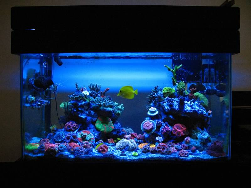 Coral Reef Aquarium - Member's Reefs - Manoj's 60G Mixed Reef