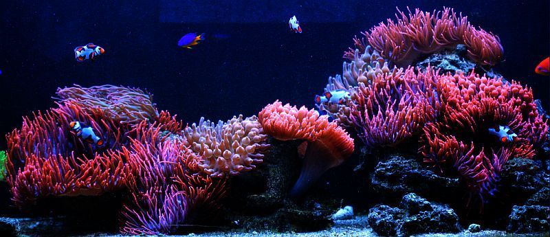 Large Reef Aquarium 91g 180g Marvinsreef 110g Clownfish Amp Anemone Tank