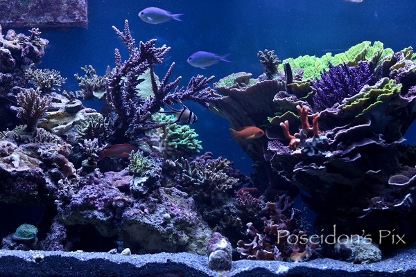 Coral Reef Aquarium - Member's Reefs - Poseidon's NEW Adventure!