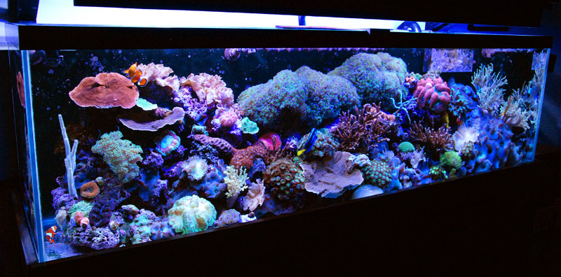 Coral Reef Aquarium - Member's Reefs - Some recent pics of my 125 gallon reef