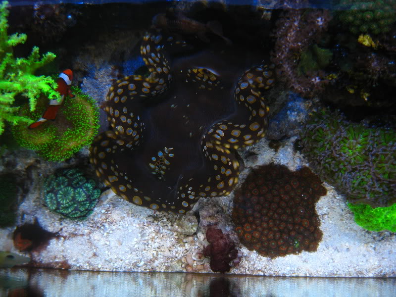 Coral Reef Aquarium - Member's Reefs - Tom@HaslettMI's 75 gallon mixed reef