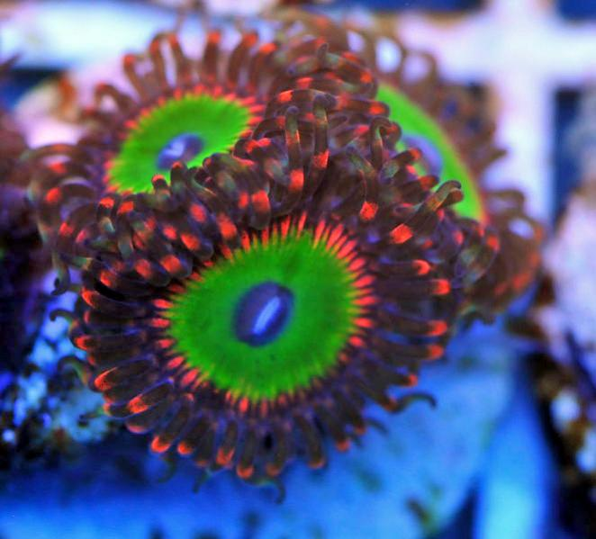 Coral Reef Aquarium - Photography - a few new pics