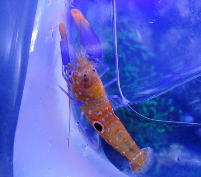 Coral Reef Aquarium - Photography - Coolest Pistol Shrimp! --  Michaels Pistol Shrimp :)