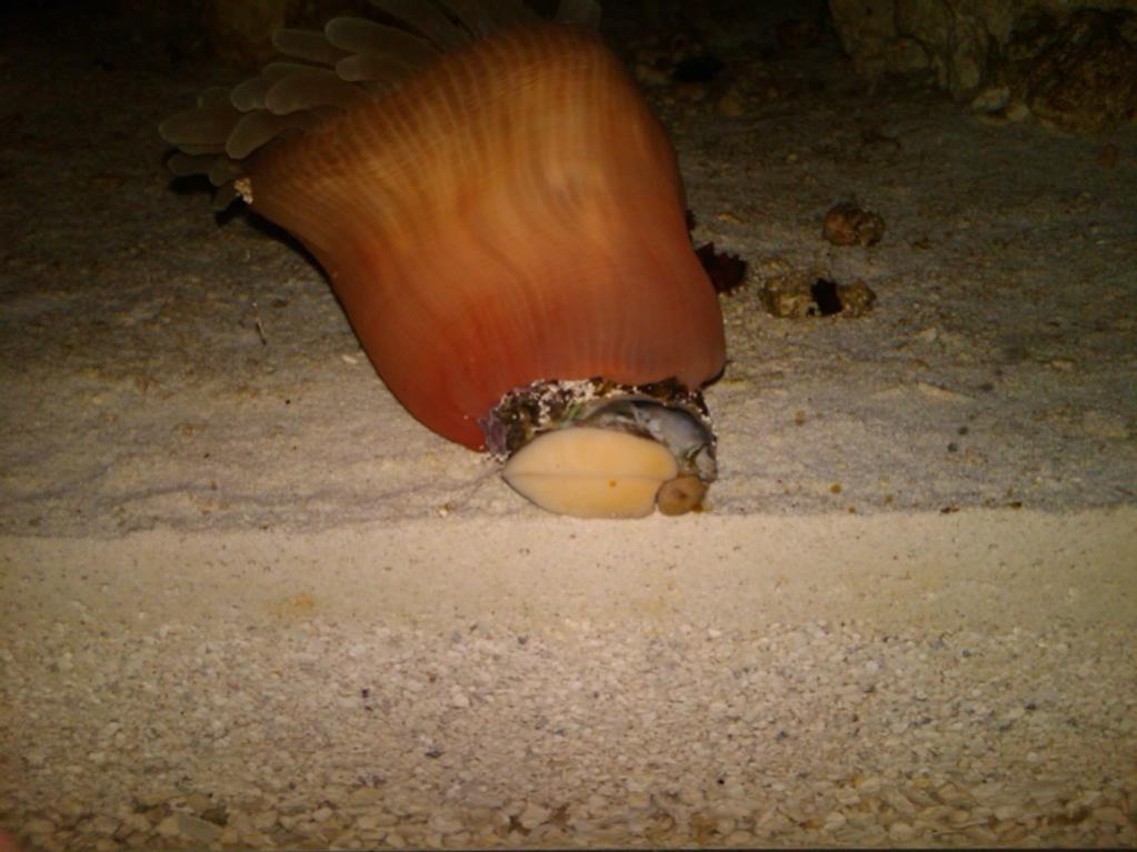 Name:  anemone-snail-ride.jpg Views: 80 Size:  82.8 KB