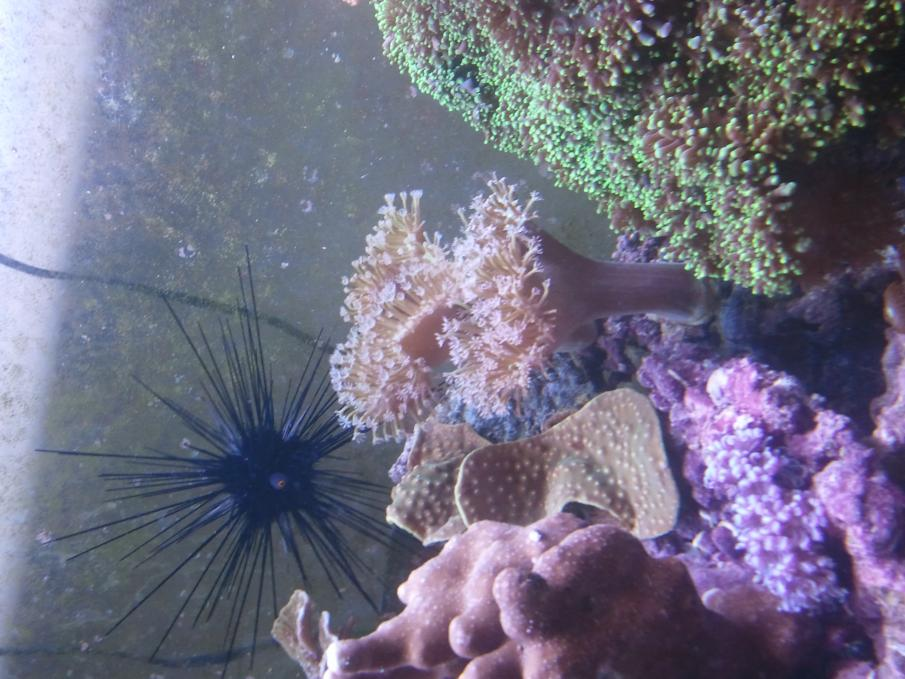 Coral Reef Aquarium - Corals - Pincushin Leather?