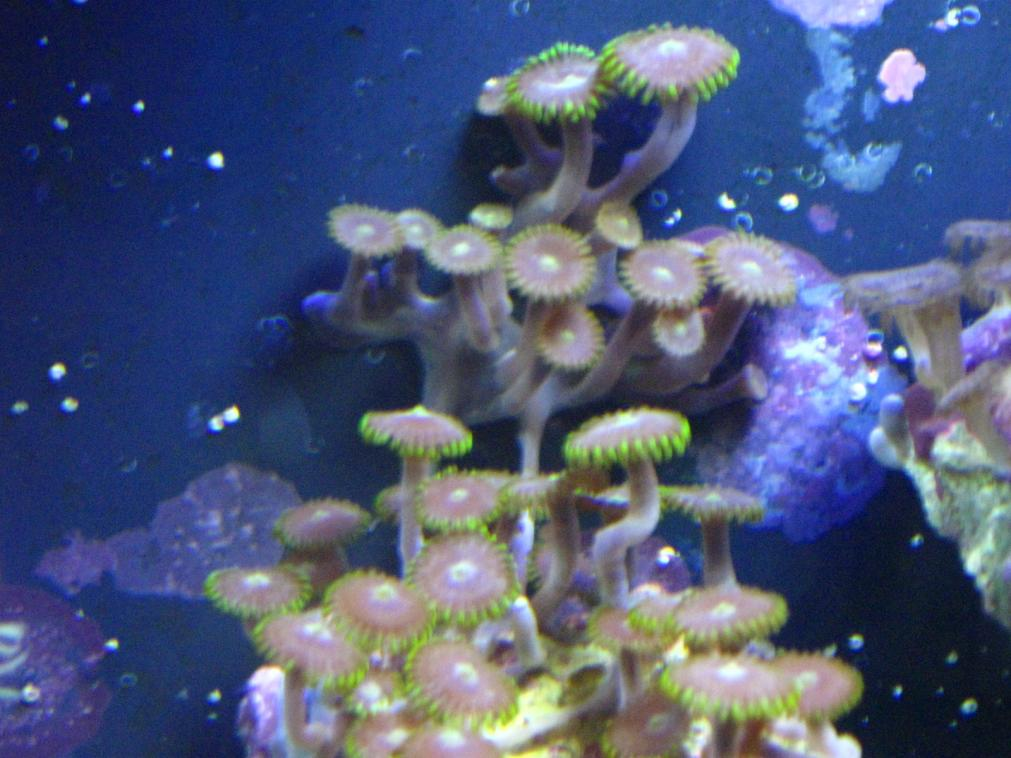 Coral Reef Aquarium - Corals - Mobile zoas?